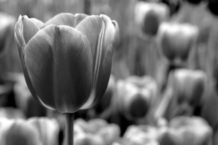Vijay Koul, Beautiful Tulip (Netherlands, Europe)