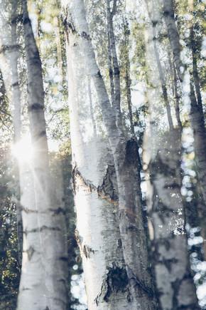 Nadja Jacke, Birches in Sunlight (Germany, Europe)