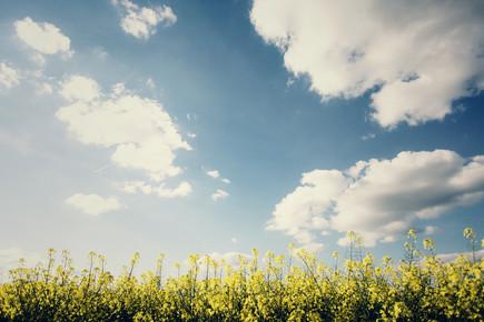 Nadja Jacke, Yellow rape with blue sky in spring (Germany, Europe)