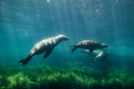 Christian Göran, Sea lions playing (United States, North America)