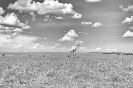 Angelika Stern, Giraffe in der Masai Mara, Kenia (Kenya, Africa)