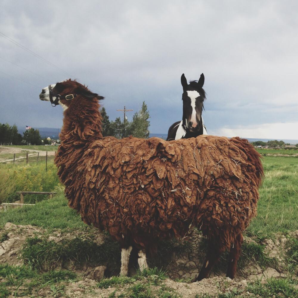 Llama and Horse - fotokunst von Kevin Russ