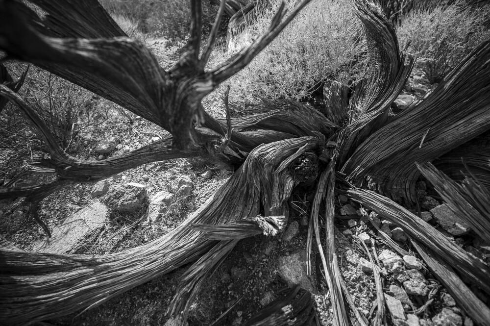 Dead Tree, Joshua Tree National Park - fotokunst von Jakob Berr