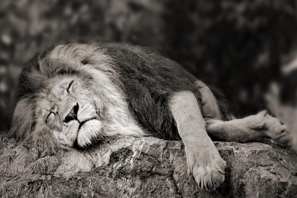 schlafender Löwe - fotokunst von Elke Krone