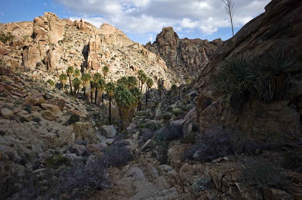 Lost Palms Oasis, Joshua Tree National Park - fotokunst von Jakob Berr