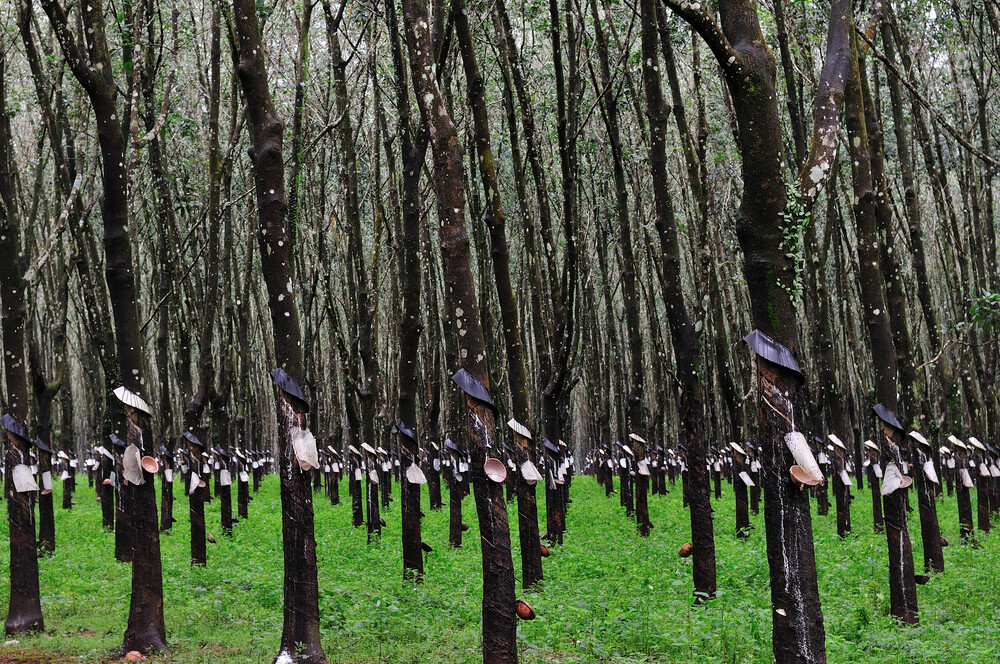 Rubber Trees - fotokunst von Haifeng Ni