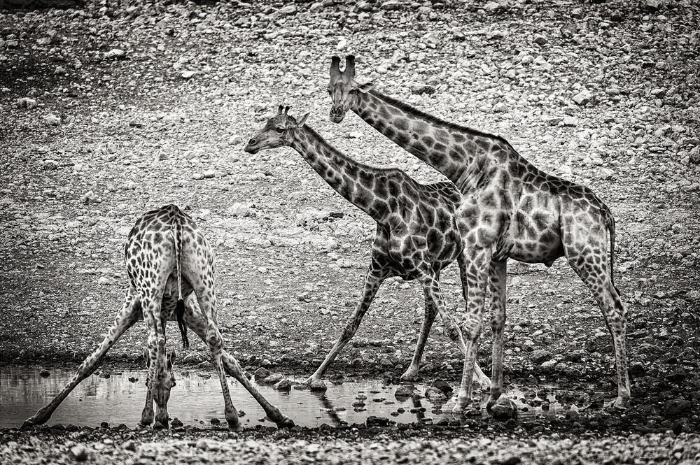 Giraffen am Wasserloch B - fotokunst von Franzel Drepper