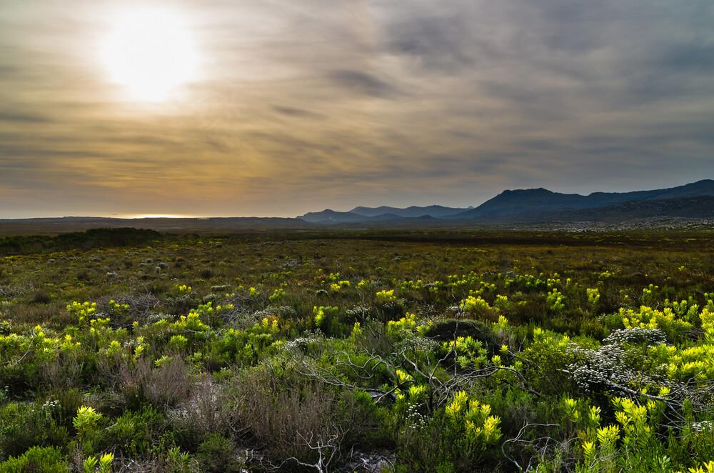 Fynbos-Vegetation am Kap der Guten Hoffnung - Fineart photography by Ralf Germer