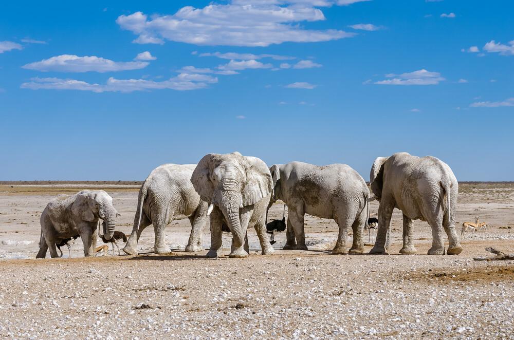 Weiße Elefanten (Etoscha National Park, Namibia) - Fineart photography by Ralf Germer