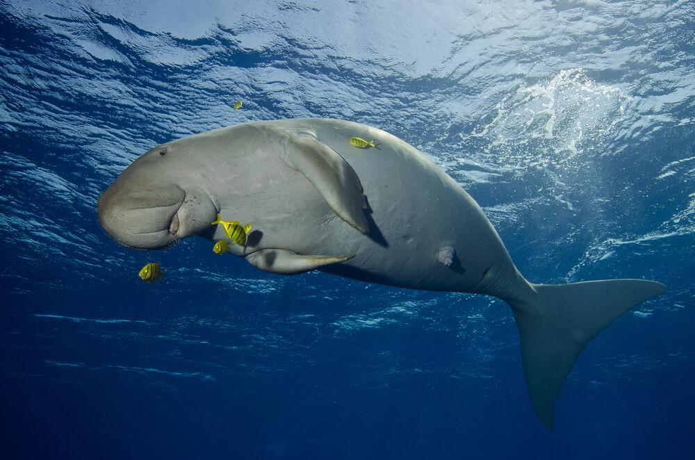Happy Dugong - fotokunst von Christian Schlamann