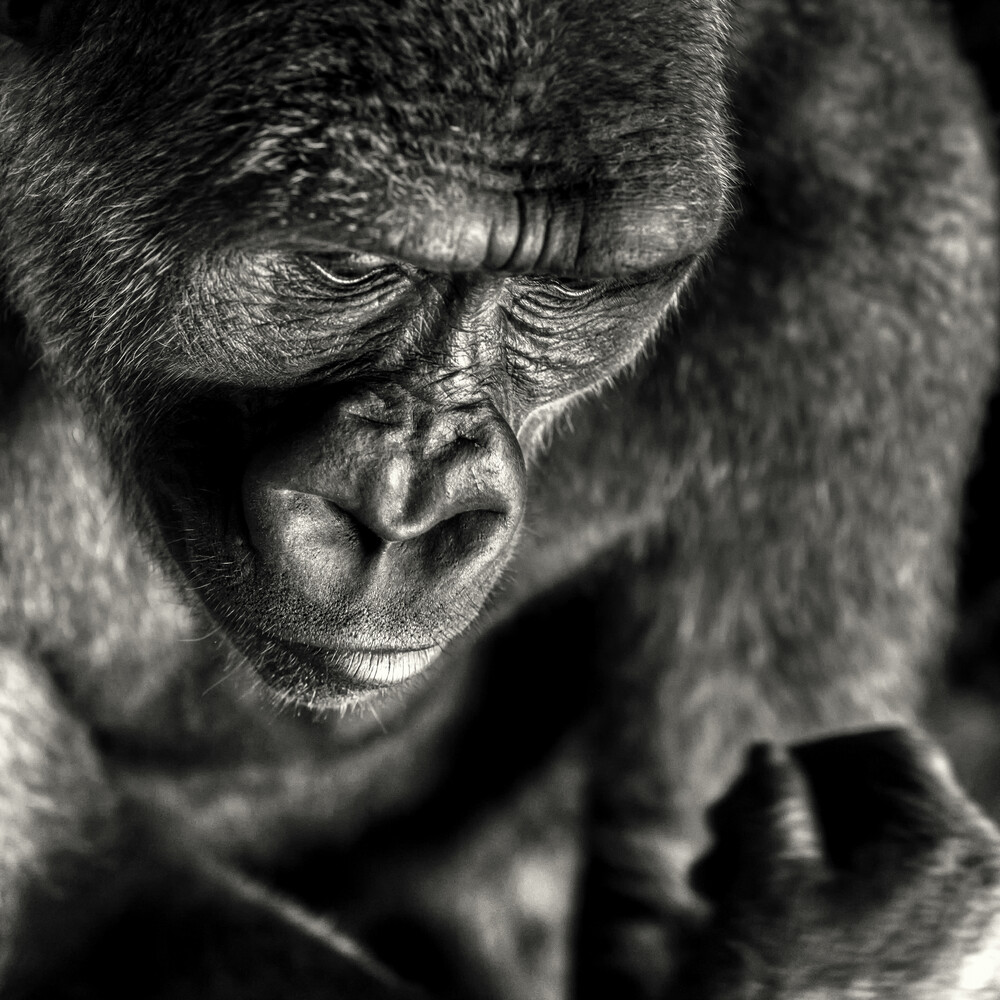 Man as a risen ape - fotokunst von Regis Boileau