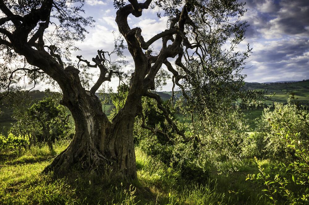 Der alte Olivenbaum - fotokunst von Heiko Gerlicher