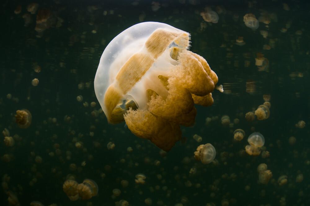 Jellyfish Lake - Fineart photography by Boris Buschardt
