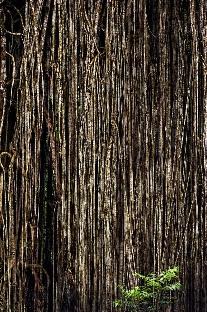 Cathedral fig tree at Lake Eacham - Australia - fotokunst von Franzel Drepper