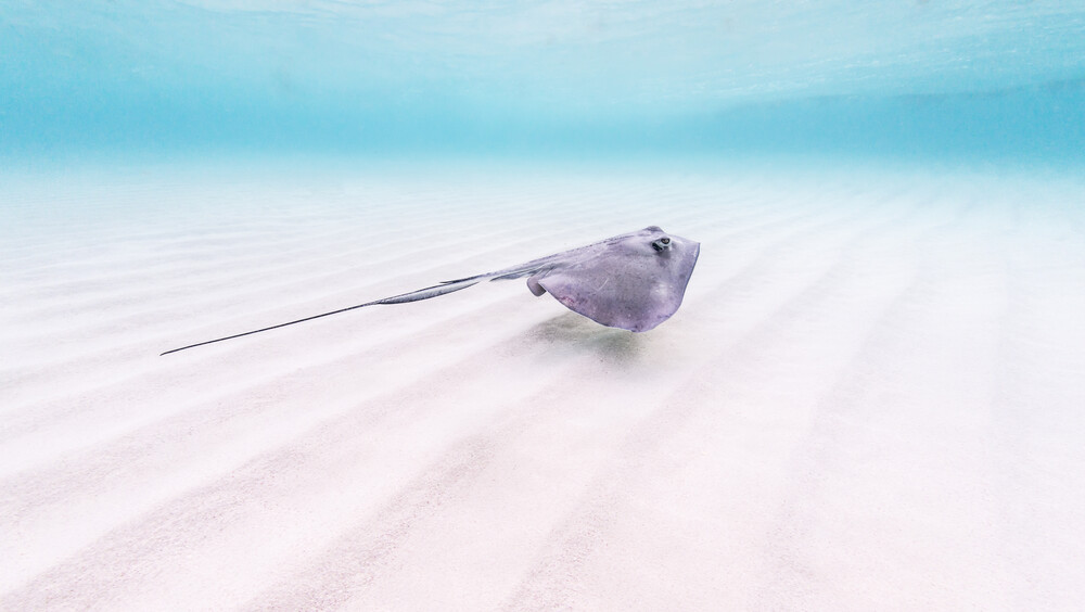 Stingray - fotokunst von Boris Buschardt