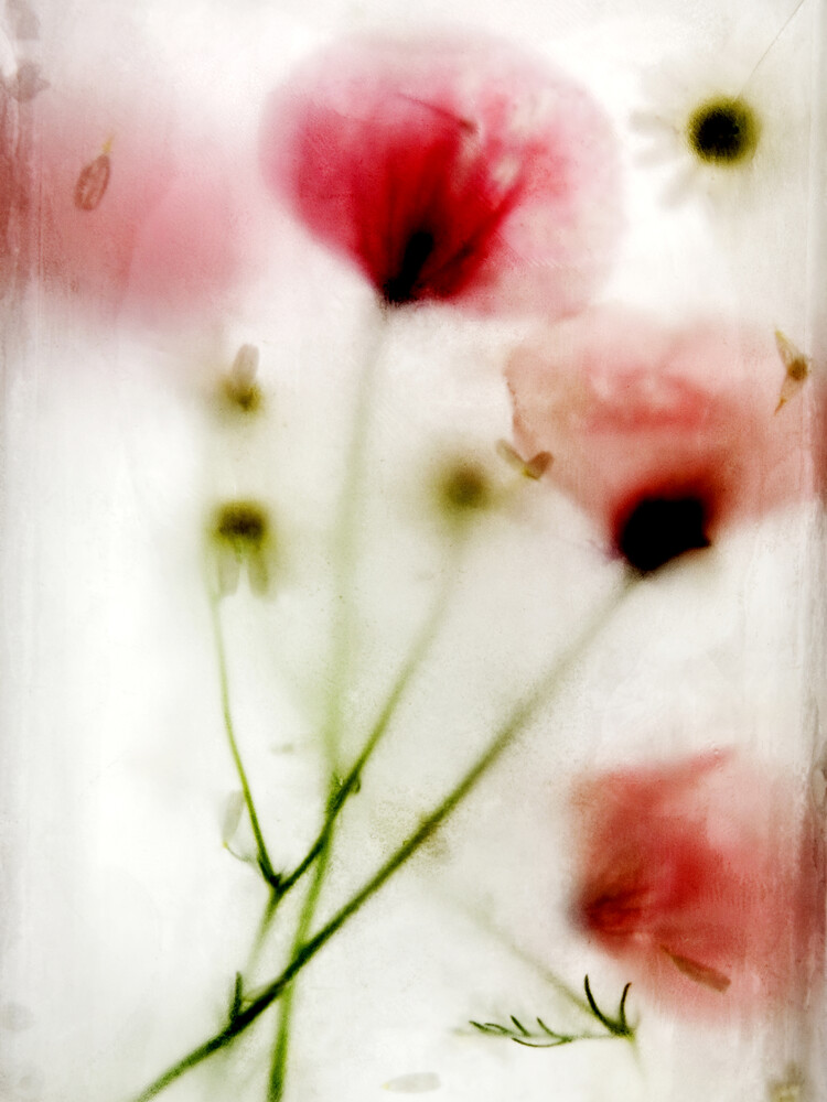 la fleur congelée # 05 Photocircle Ed. - fotokunst von Daniel Theus