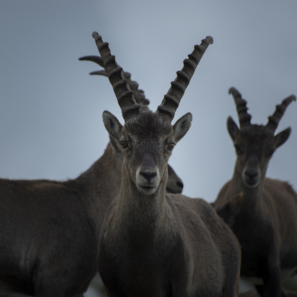 Ibex - Fineart photography by Stefan Huber