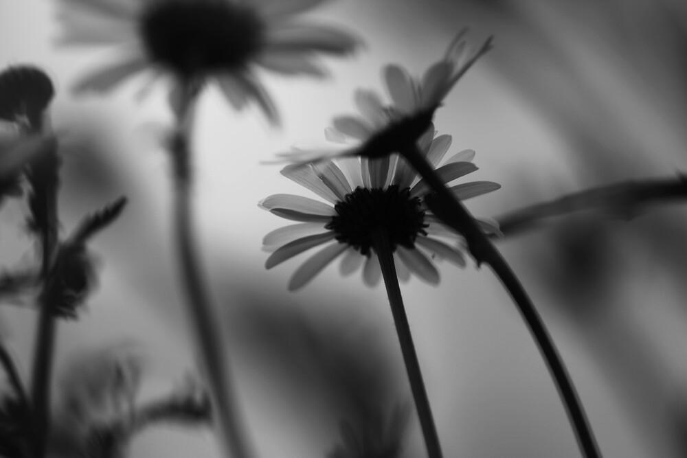 Gänseblümchen - fotokunst von Rolf Bökemeier