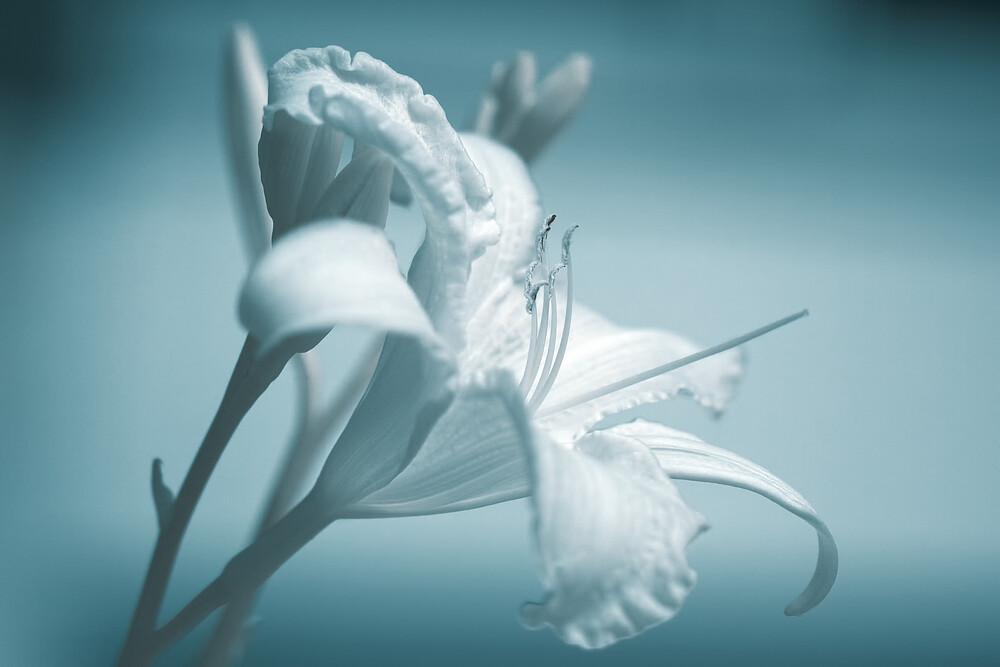 fleur-de-lys - fotokunst von Oliver Buchmann
