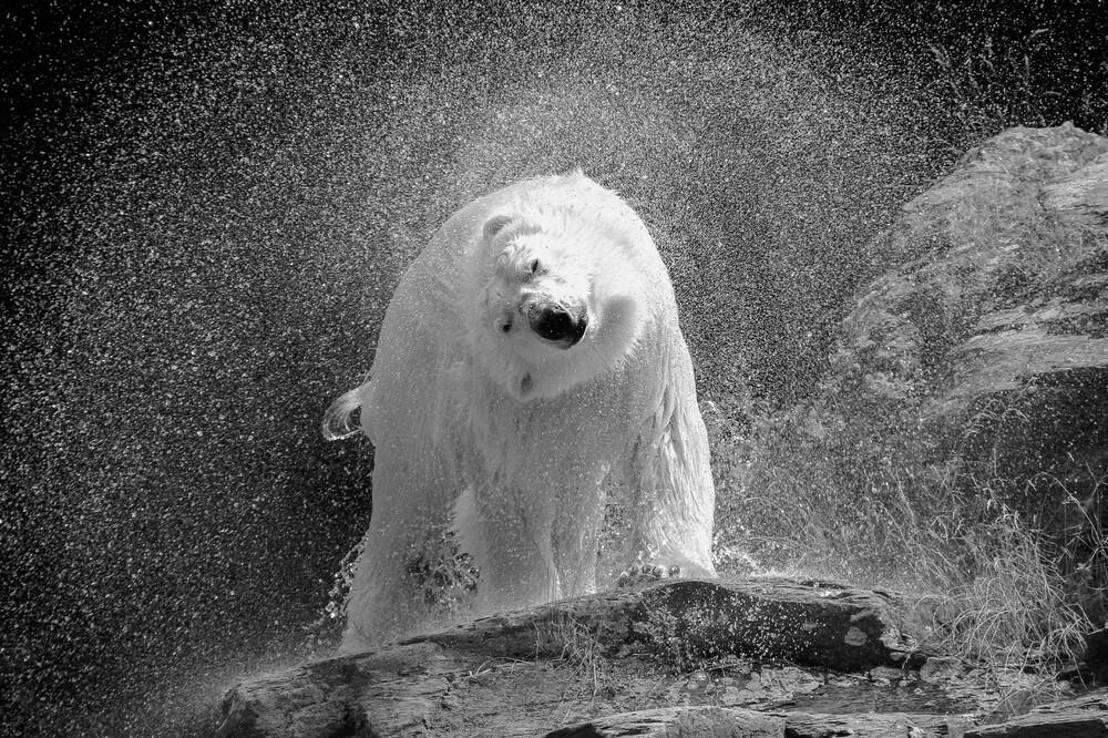 polar bear - fotokunst von Nicolas De Vaulx