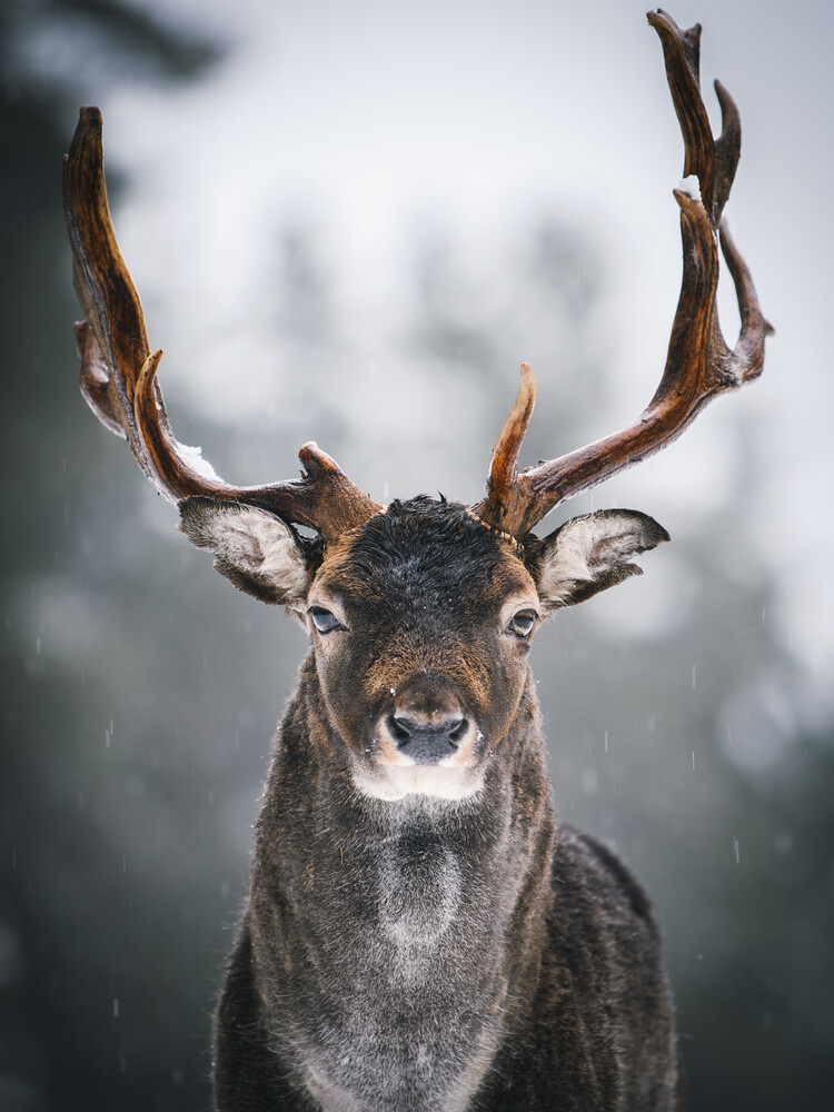 Majestic deer III - Fineart photography by André Alexander