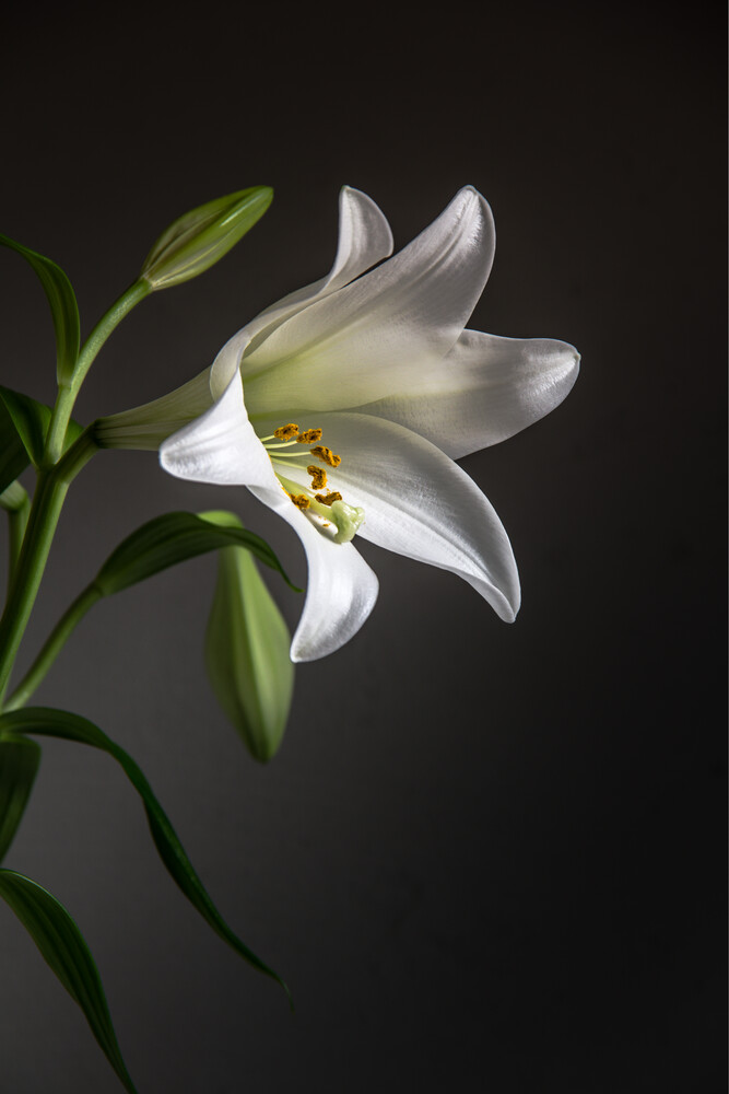 Lily - Fineart photography by Björn Witt