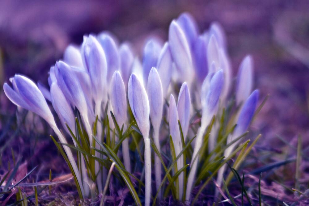Ultra Violetter Frühlings Sound - fotokunst von Silva Wischeropp