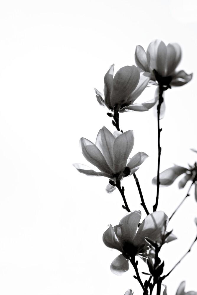 BLACK MAGNOLIA - Fineart photography by Monika Strigel