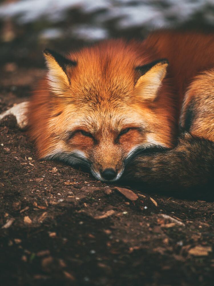 Sleeping Fox - Fineart photography by Gergo Kazsimer