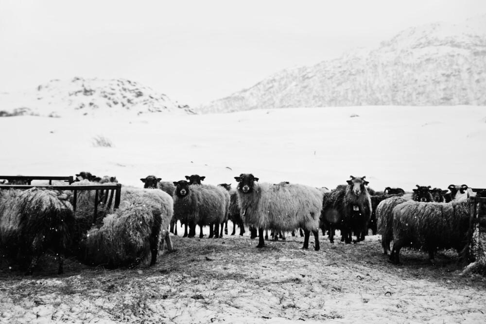 Beste Freunde auf den Lofoten - fotokunst von Victoria Knobloch
