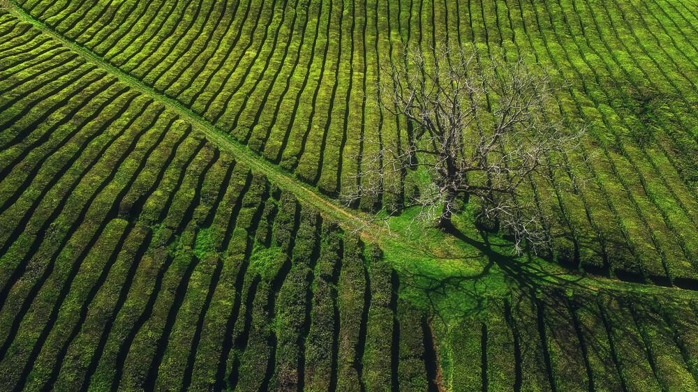 Azoren Teeplantage auf Sao Miguel - fotokunst von Jean Claude Castor