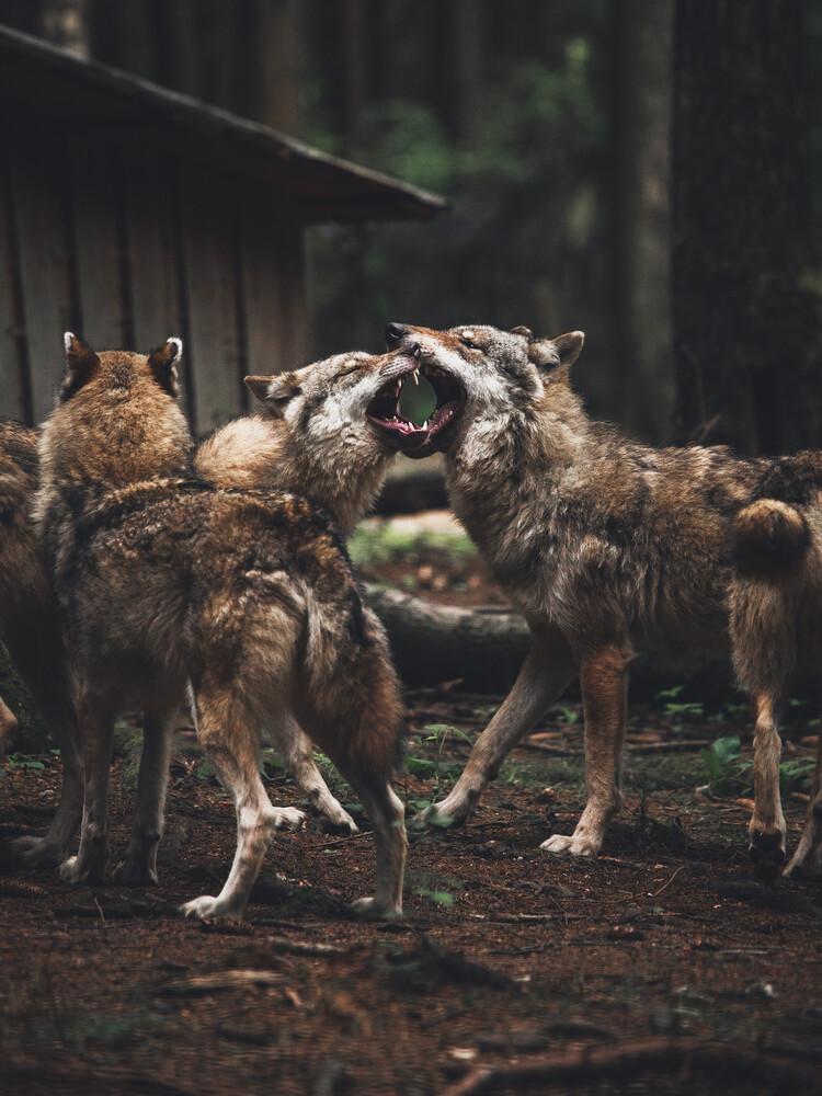 The Wolf Pack - Fineart photography by Gergo Kazsimer