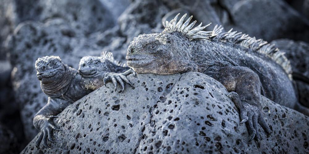 Iguana Familiy - fotokunst von Andreas Adams