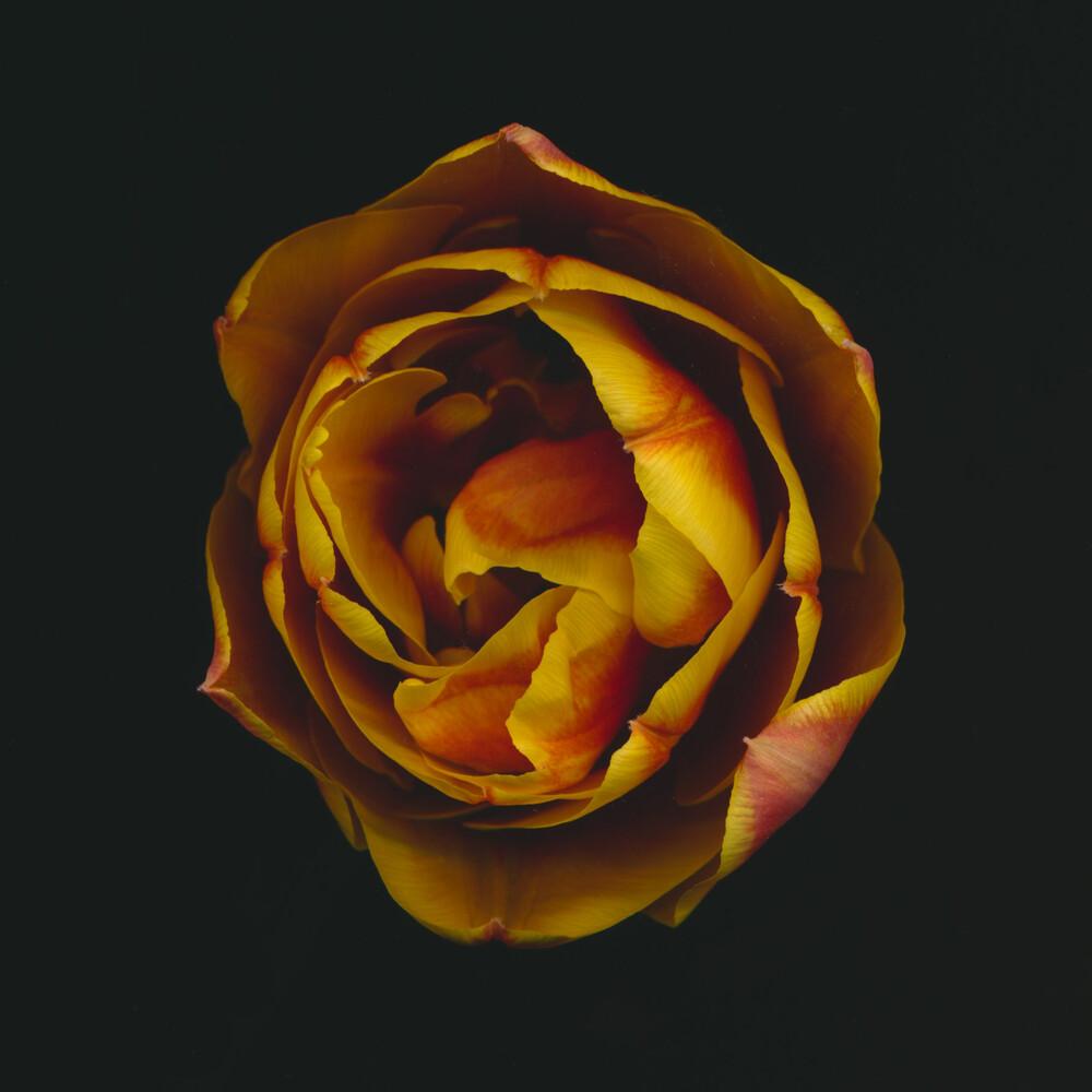 Tulpe - fotokunst von Ramona Reimann