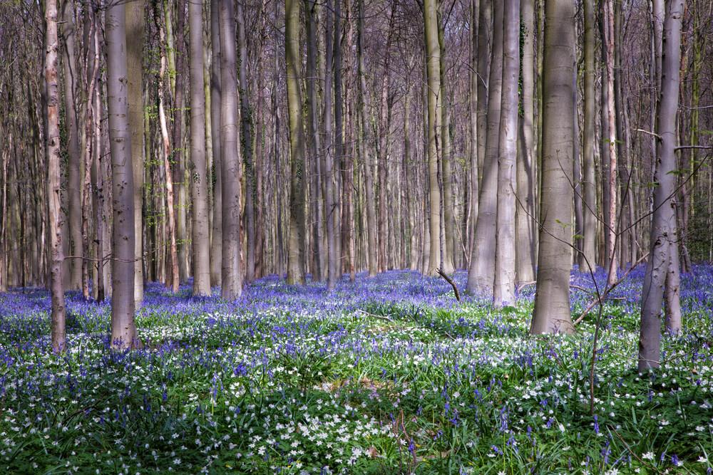 Bluebells of the spring - fotokunst von Oona Kallanmaa