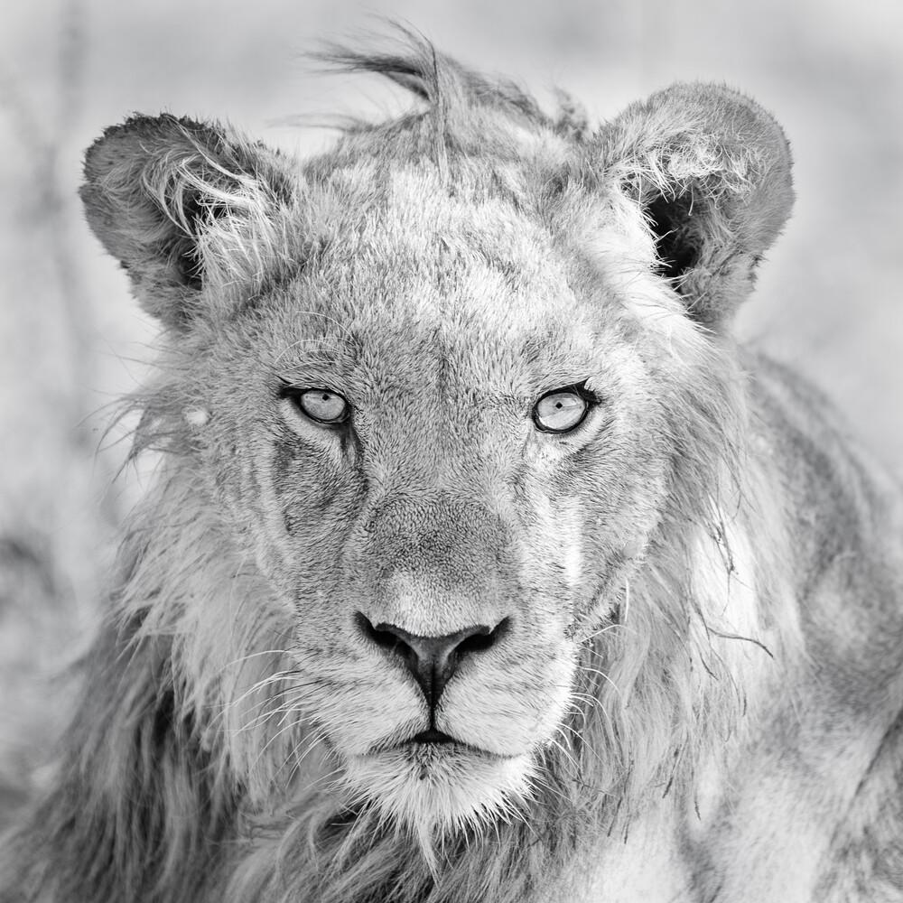 Im Fokus des Löwen - fotokunst von Dennis Wehrmann