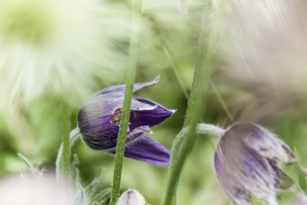 Blume IV - Kuhschelle - Fineart photography by Michael Schulz-dostal