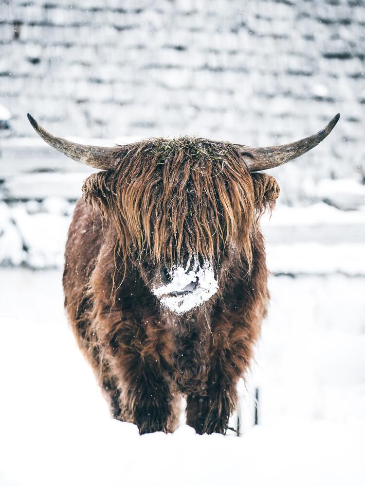 Galloway Rind  im Winter - fotokunst von Lars Schmucker