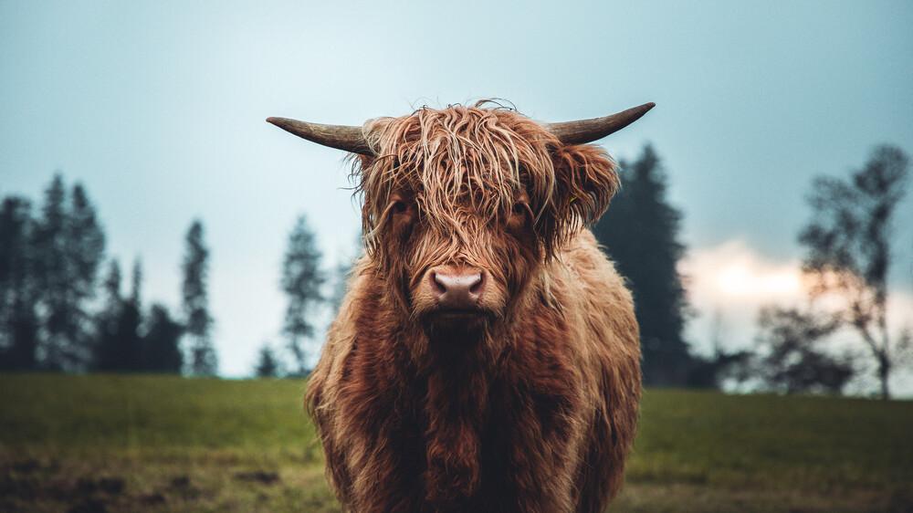 Galloway Rind auf der grünen Weide - fotokunst von Lars Schmucker