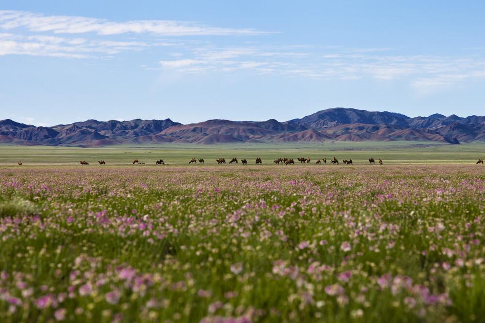 Blumenmeer und grasende Kamelherde - fotokunst von Monika Nutz