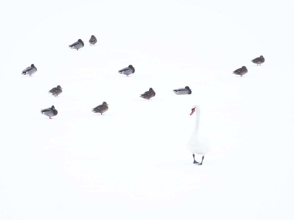 Höckerschwan und Stockenten - fotokunst von Felix Wesch