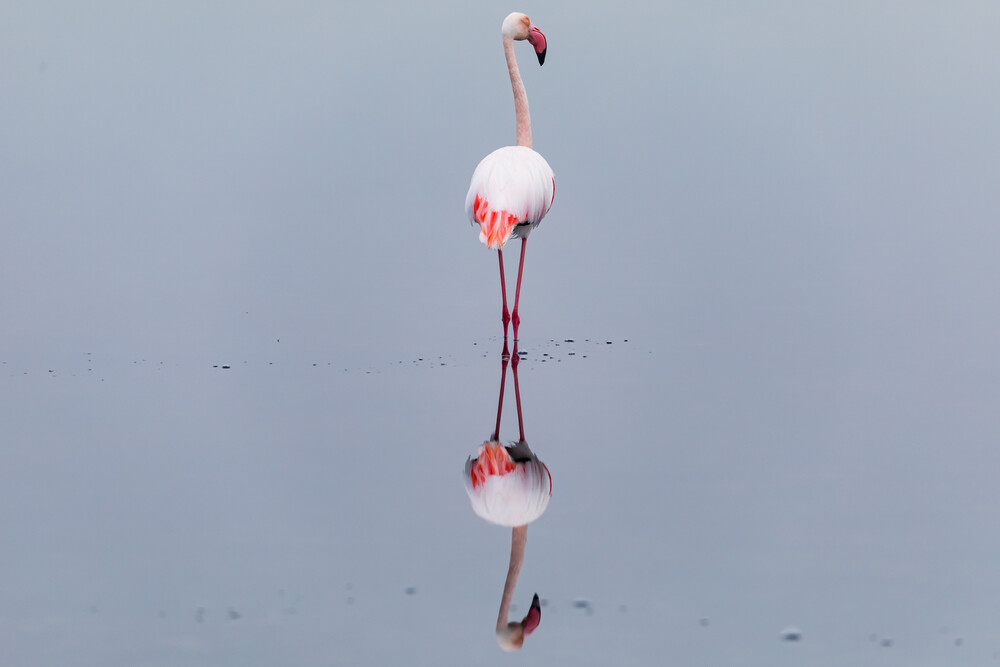 Flamingo in the mirror - Fineart photography by André Straub