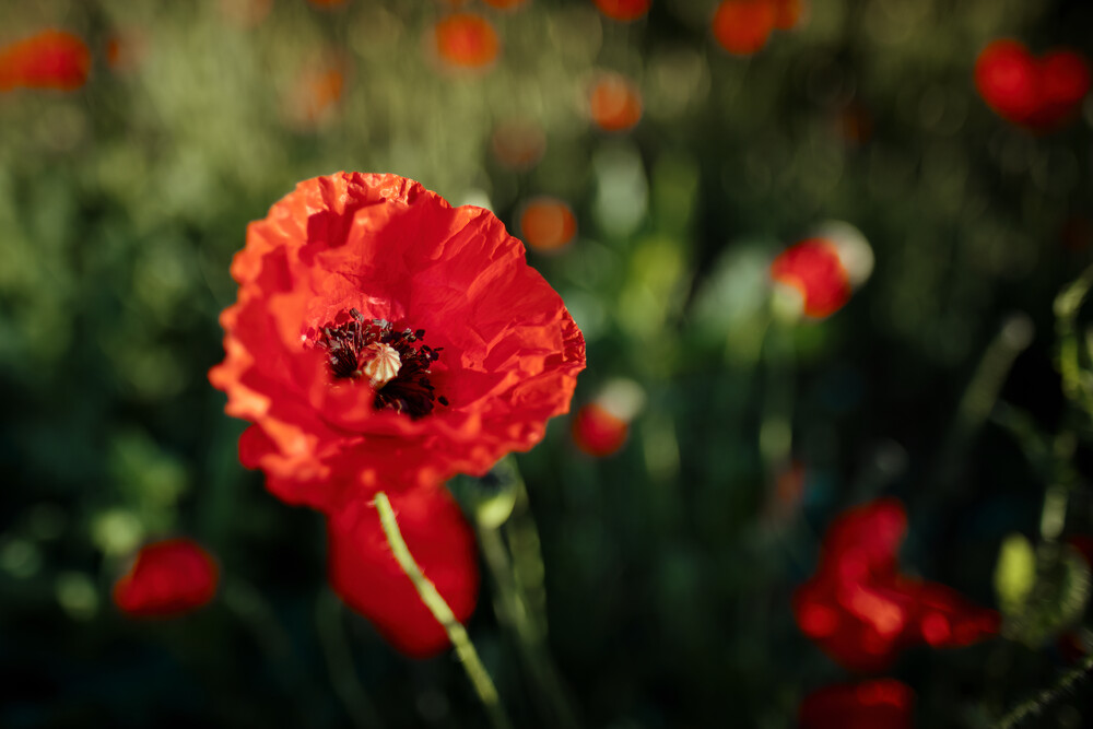 Mohn im Sommer - Fineart photography by Sascha Faber
