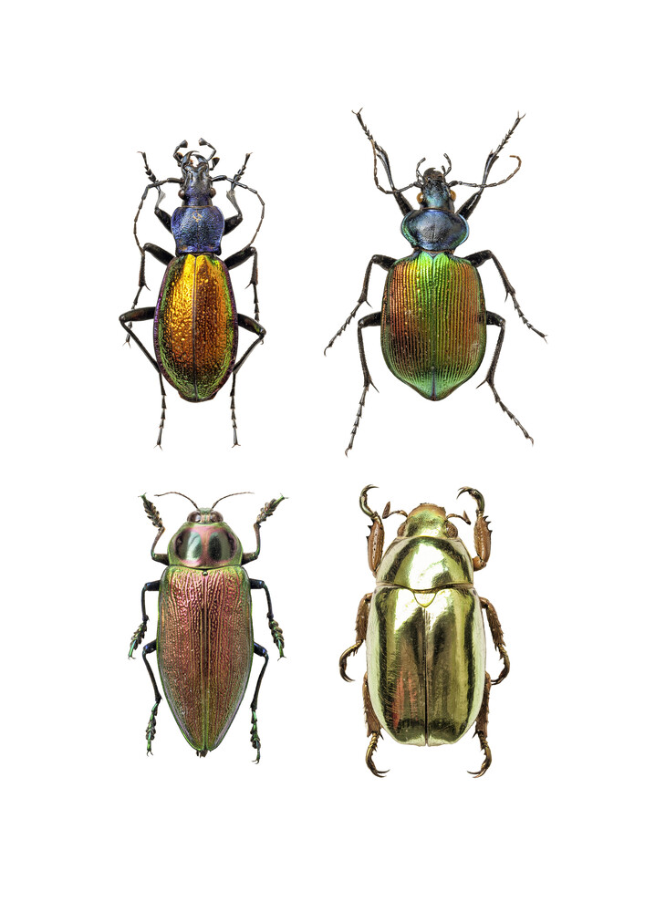 Rarity Cabinet Insect Beetles 4 - Fineart photography by Marielle Leenders