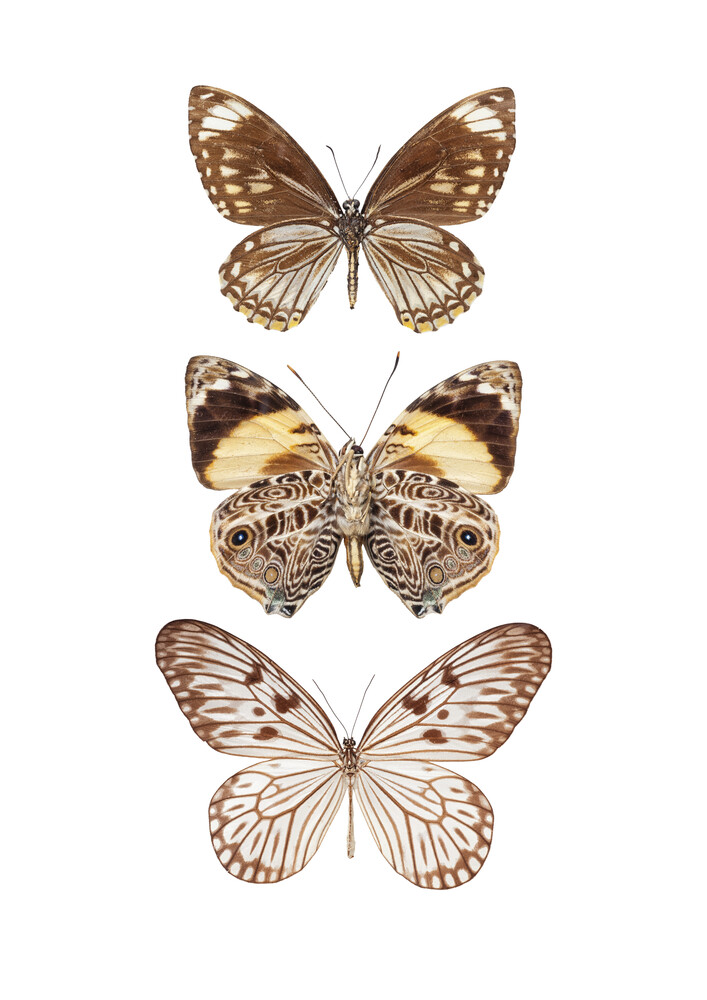 Rarity Cabinet Butterflies, brown 3 - Fineart photography by Marielle Leenders