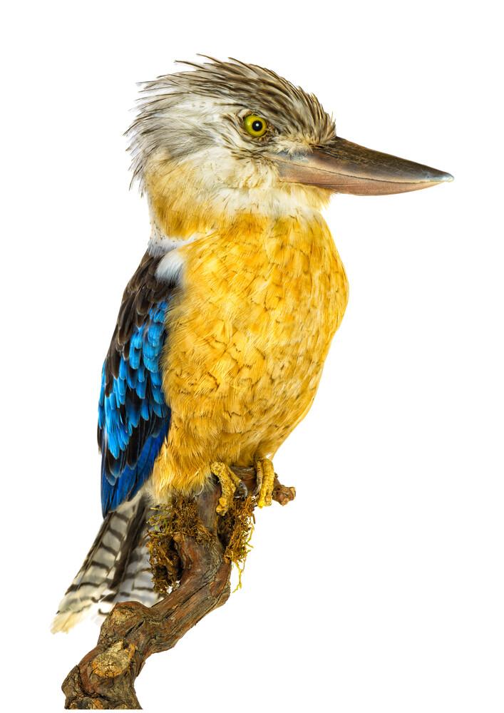 Rarity Cabinet Bird Kookaburra Yellow - fotokunst von Marielle Leenders