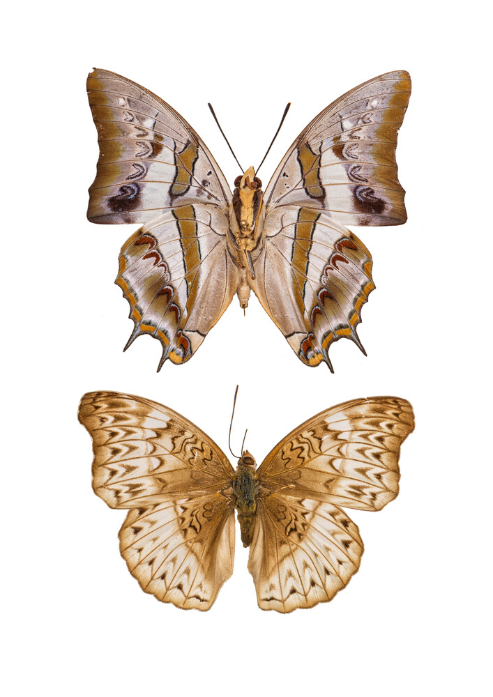 Rarity Cabinet Butterfly Brown - Fineart photography by Marielle Leenders