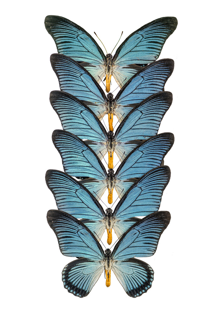 Rarity Cabinet Butterfly Blue 2 - Fineart photography by Marielle Leenders