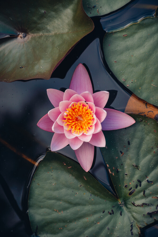 Nymphaea - Fineart photography by Lukas Gleich