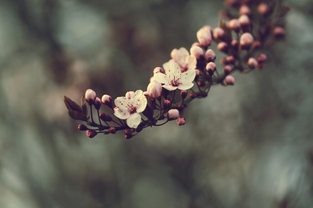 Blüten der Blutpflaume - fotokunst von Nadja Jacke